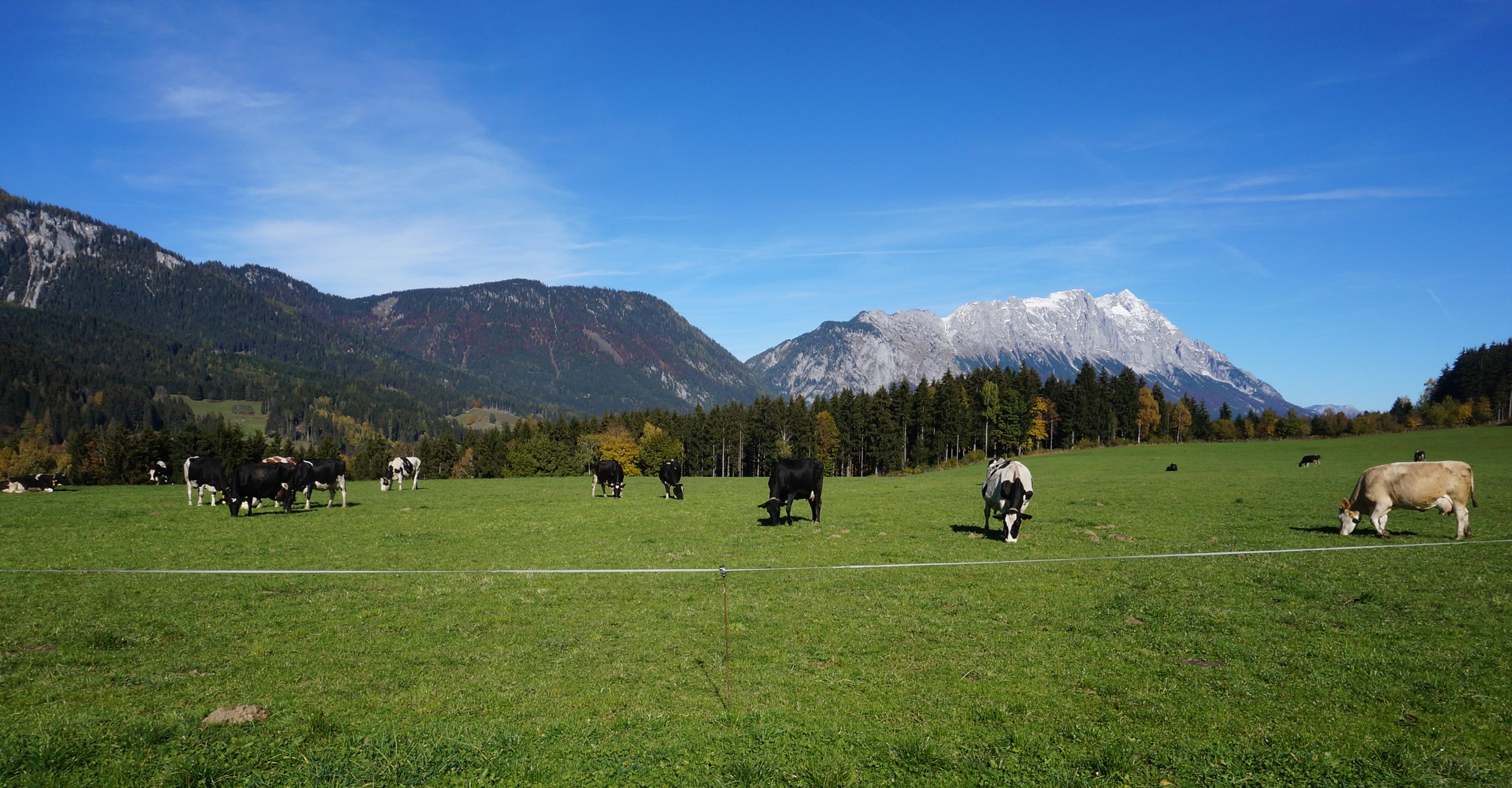 Kühe Milch Moserhof